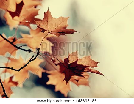 The branches of a maple with autumn leaves. Golden autumn.