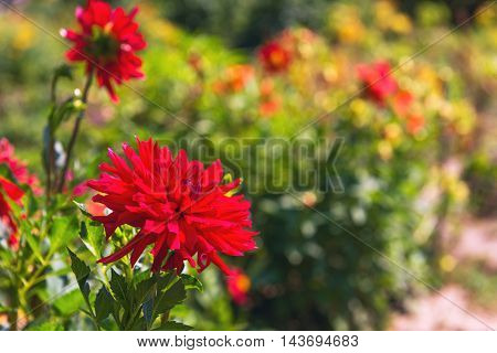 Autumn Flowers Blooming red chrysanthemum red chrysanthemum buds green nature space for text