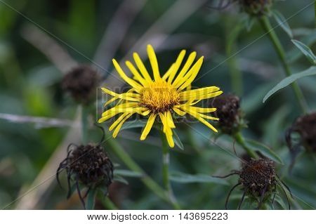 Flower of an Inula germanica a wild plant from Europe and Asia.