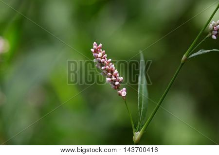 Flower of a Lady Thumb plant (Persicaria maculosa)