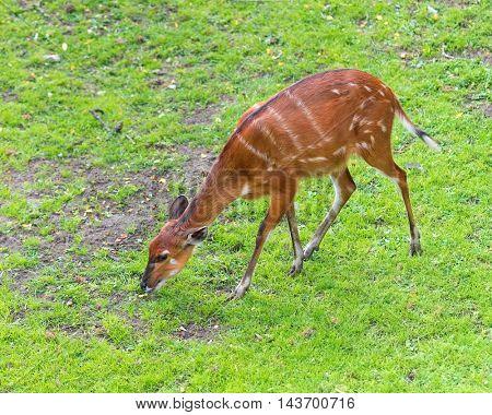 Western Sitatunga (Tragelaphus spekii gratus). Activity of young Sitatunga female antelope eating grass. Pasture of wild animal on the meadow.