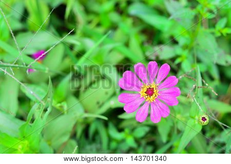 Pink Zinnia in the Flower Garden Thailand