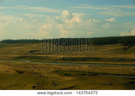 Buffalo eating grass in fields in Yellowstone