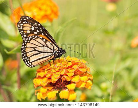 Monarch butterfly on an orange Zinnia in summer garden