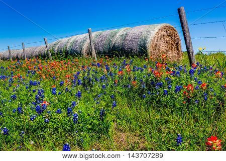 Beautiful Dry Round Hay Bales of Texas Grasses used to Feed Cattle Near Various Fresh Texas Wildflowers in Spring Including Indian Paintbrush and Texas Bluebonnets.
