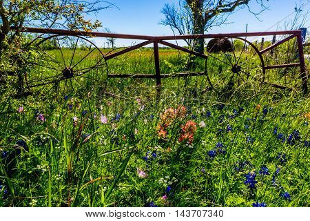 A Metal Gate with Old Wagon Wheels at a Ranch with Dry Round Hay Bales of Texas Grasses used to Feed Cattle Near Various Fresh Texas Wildflowers in Spring Including Indian Paintbrush and Texas Bluebonnets.