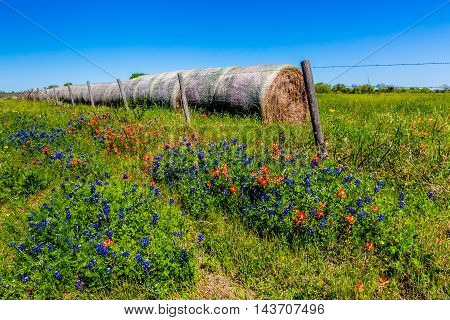 Big Row of Dry Round Hay Bales of Texas Grasses used to Feed Cattle Next to Various Bright New Texas Wildflowers in Spring Including Brilliant Indian Paintbrush and Texas Bluebonnets.