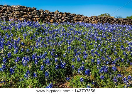 A Texas Rock Wall Lined with the Famous Texas Bluebonnet (Lupinus texensis) Wildflowers.