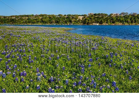 Beautiful Famous Texas Bluebonnet (Lupinus texensis) Wildflowers in Late Afternoon Sun at Muleshoe Bend on the Blue Waters of Lake Travis in Texas.