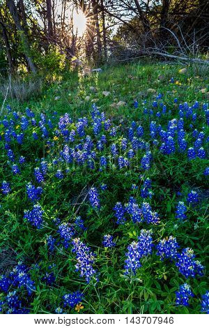 Beautiful Famous Texas Bluebonnet (Lupinus texensis) Wildflowers at Muleshoe Bend in Texas with Beautiful Setting Sun.