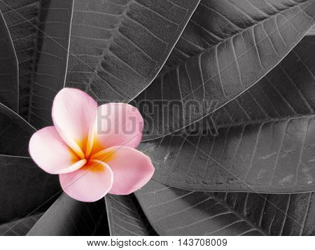 Beautiful white tropical frangipani flower blooming backgrouind
