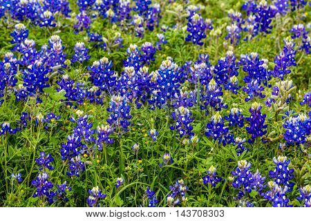 Closeup of a Cluster of the Famous Texas Bluebonnet (Lupinus texensis) Wildflowers.