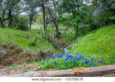 Small Creek with the Famous Texas Bluebonnet (Lupinus texensis) Wildflowers.