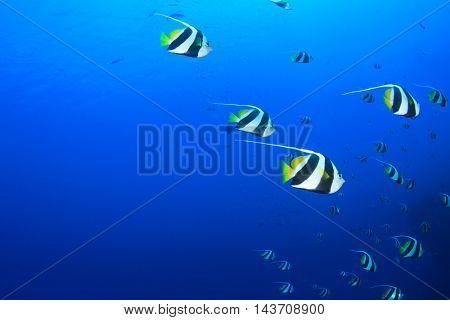 Underwater fish in sea (Bannerfish)