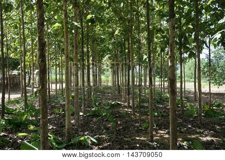 abstract of green environment of teak plantation
