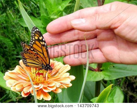Monarch Butterfly on a flower near the palm in High Park of Toronto Canada