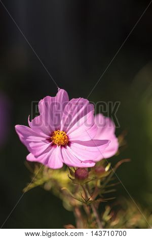 African pink daisy flower Osteospermum booms in a botanical garden in summer