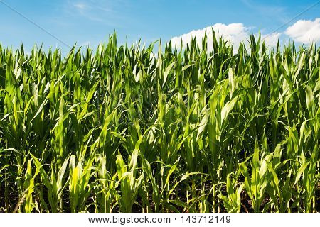 Detailed view of still unripe maize plants growing on the field.