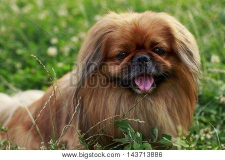 dog breed Pekingese on a green grass