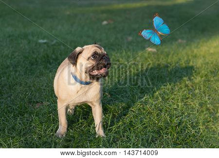 the puppy pug on grass is watching on butterfly known as Morpho menelaus