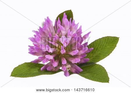 Single flower of pink clover isolated on white background close up .