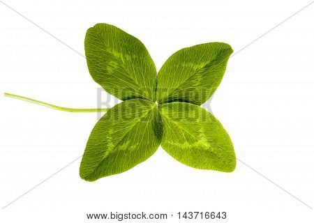 Green four-leaf clover isolated on white background