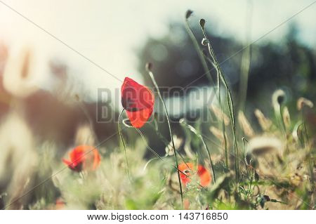 Red Poppy Flower In The Field At Sunset