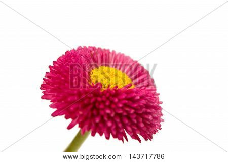 pink daisy flower on a white background