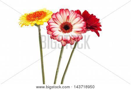 beautiful gerbera flower on a white background