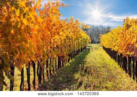 Autumn landscape - Colorful Rows of Vineyard in Wine Growing Region, Tuscany, Italy, Europe