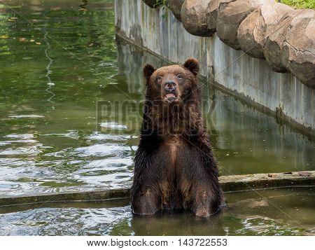 Brown bear Ursus arctos cools off in water