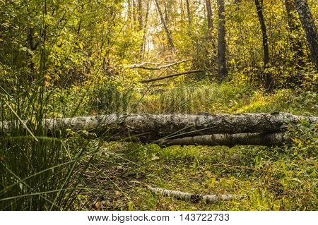 Bright autumn forest with birch trees felled on the footpath.