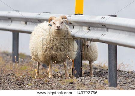 Two Icelandic Sheep