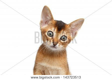 Closeup Portrait of Abyssinian Kitty Looks Curious on Isolated White Background, Front view, Blue eyes