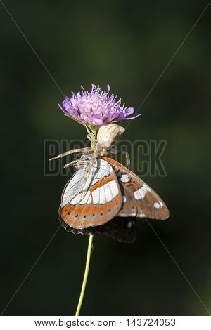Animals in the wild; butterfly hunting spiders.