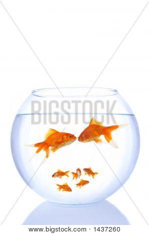 Goldfish Family
