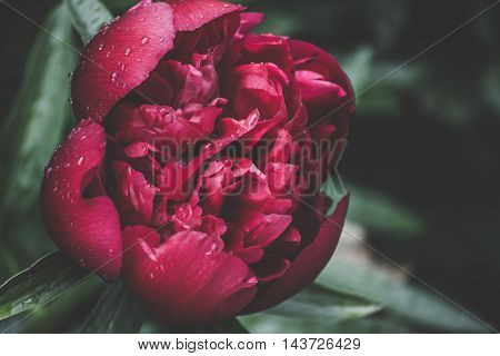 Red peony flower on the flowerbed in the garden