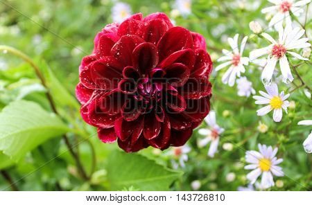 Claret dahlia and chamomiles in a summer garden