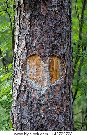 heart carved on a tree. forest background