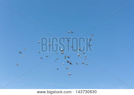 flying flock of pigeons on a background of blue sky