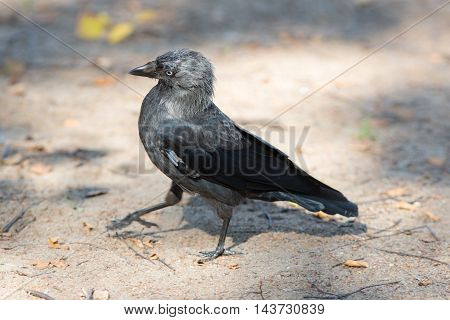 portrait of walking on the ground jackdaw closeup