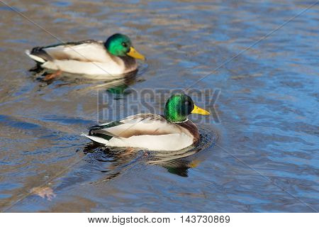 portrait of two ducks in the water