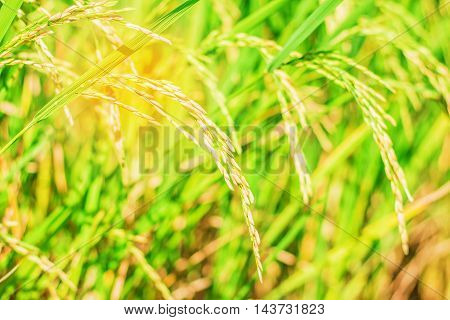 Golden rice in the fields of Thailand.