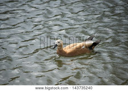 Birds in wildlife. View of a duck bird in park. beautiful mallard duck in the water.