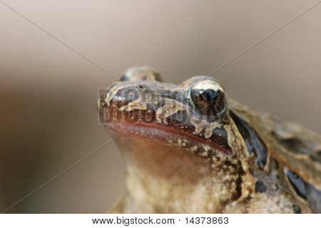 Portrait of a painted frog