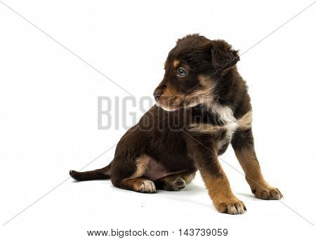 puppy young dogs on a white background