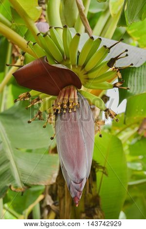 Flowering banana on tree with green leaf background.