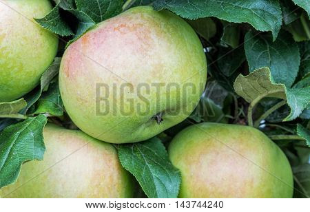 green apples with pink sideways on the bush close-up