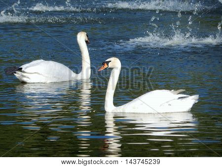 Floating Pair of White Swans on the Water Surface of City Pond Stock Image