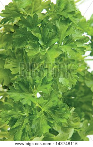 Green herbs Parsley for kitchen on background